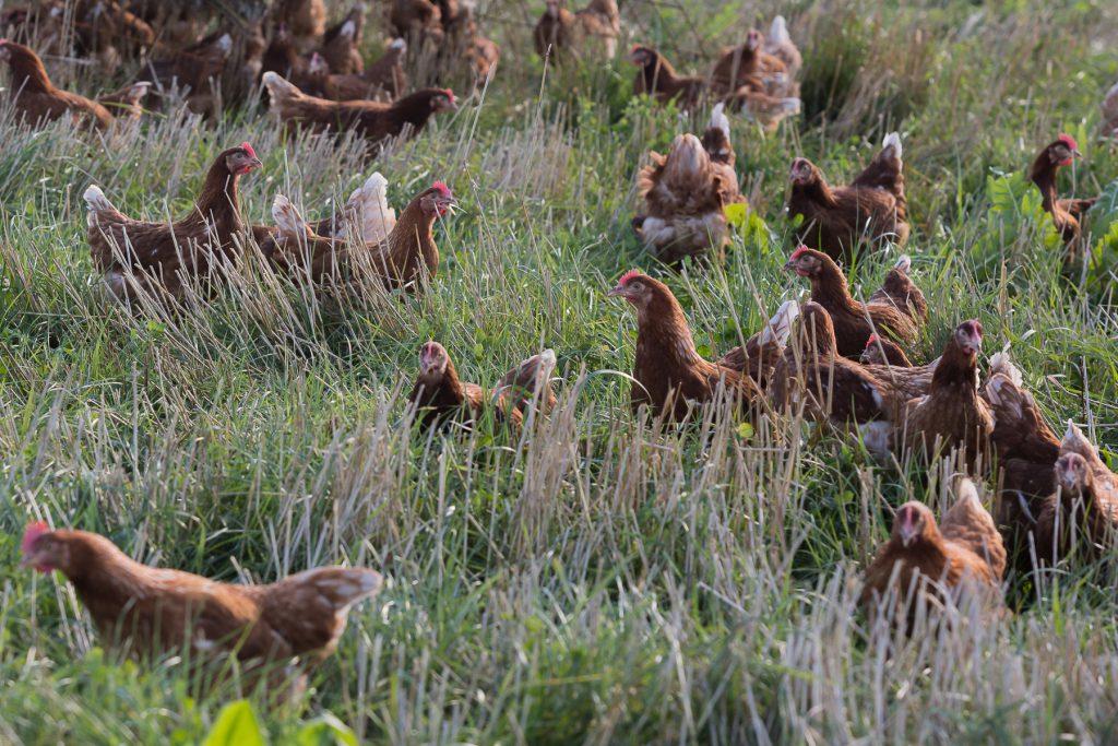 De røde damer - Hønsene